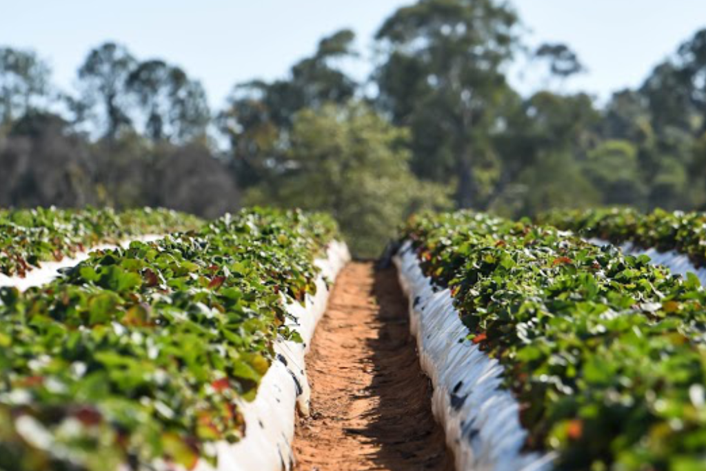Luvaberry strawberry rows